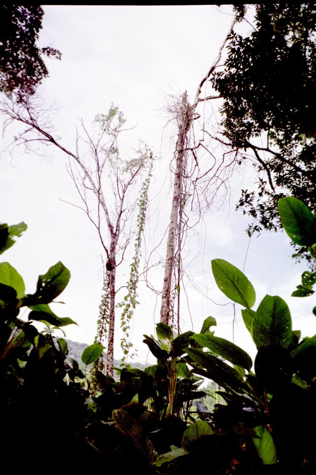 Tall wiry trees